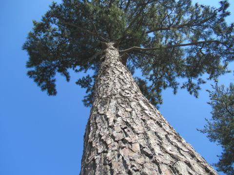 八柱霊園-松の木